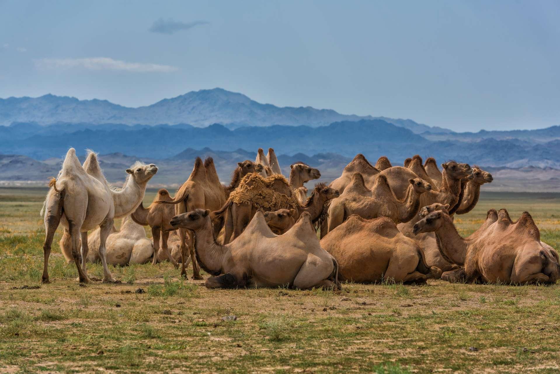 camel farm kazakhstan